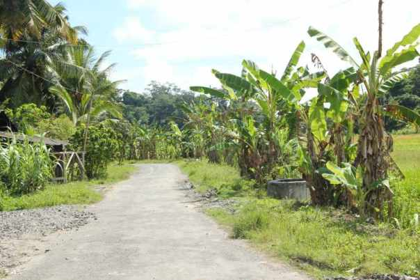 Bananas along the road side