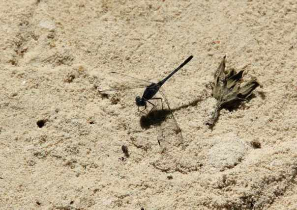 Black dragon fly on the beach