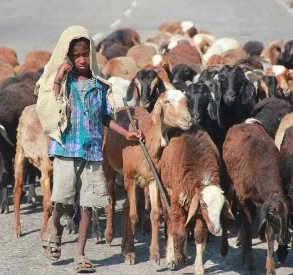 Boy tending to goats