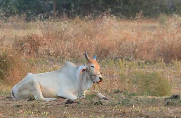 Bull resting