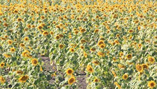Fields of Sunflowers 2