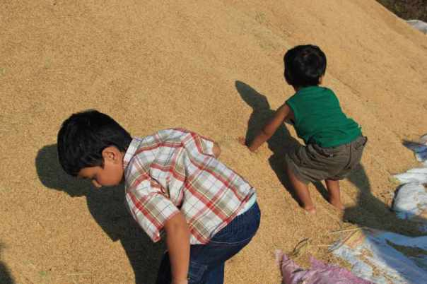 Kids on rice heaps