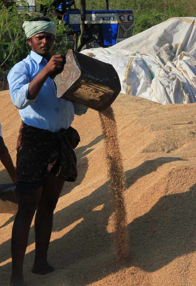 Raw rice being filled in sacks