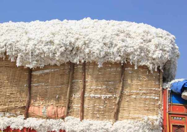 Trucks filled with Cotton