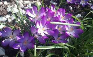 Crocus in bloom