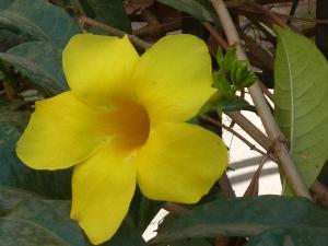 Yellow Trumpet Flower?
