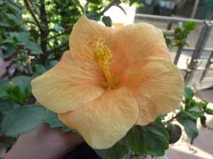 Ornage Hibiscus